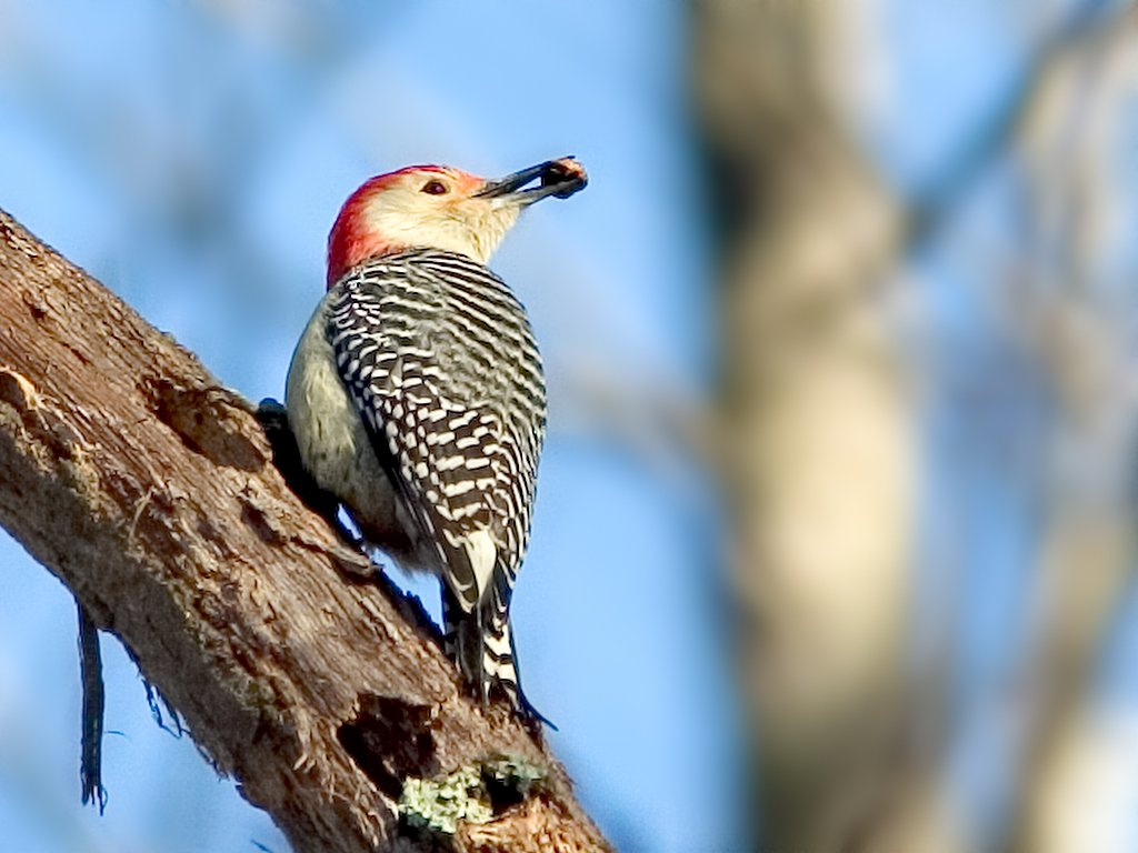 Red-bellied Woodpecker at Mason´s Neck National Wildlife Refuge south of Alexandria, Virginia, 2002.  Click for next photo.