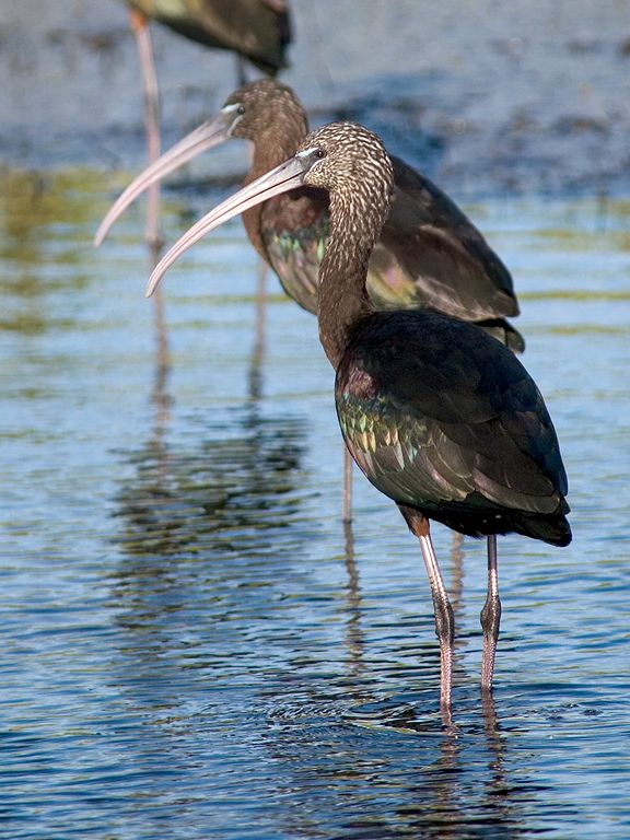 Another kind of ibis, the Glossy Ibis. Dec. 25, 2002.  Click for next photo.
