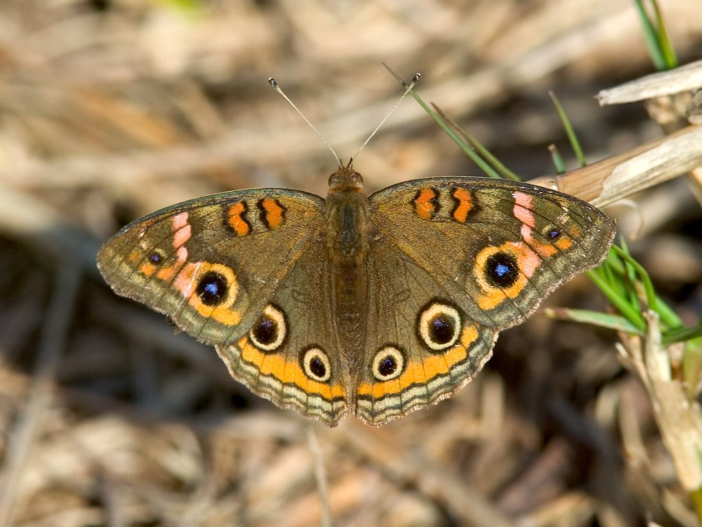 Today´s butterfly, a Common Buckeye. Dec. 25, 2002.  Click for next photo.