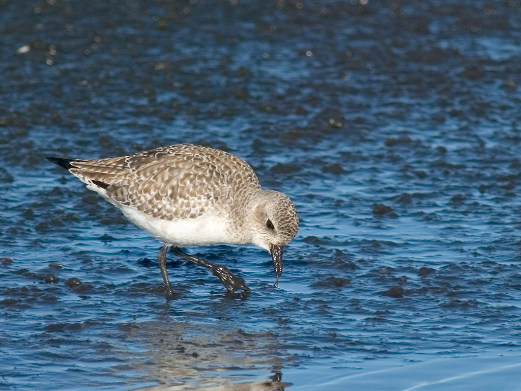 I think this is either a Black-Bellied Plover or a Sanderling. Dec. 28, 2002.  Click for next photo.