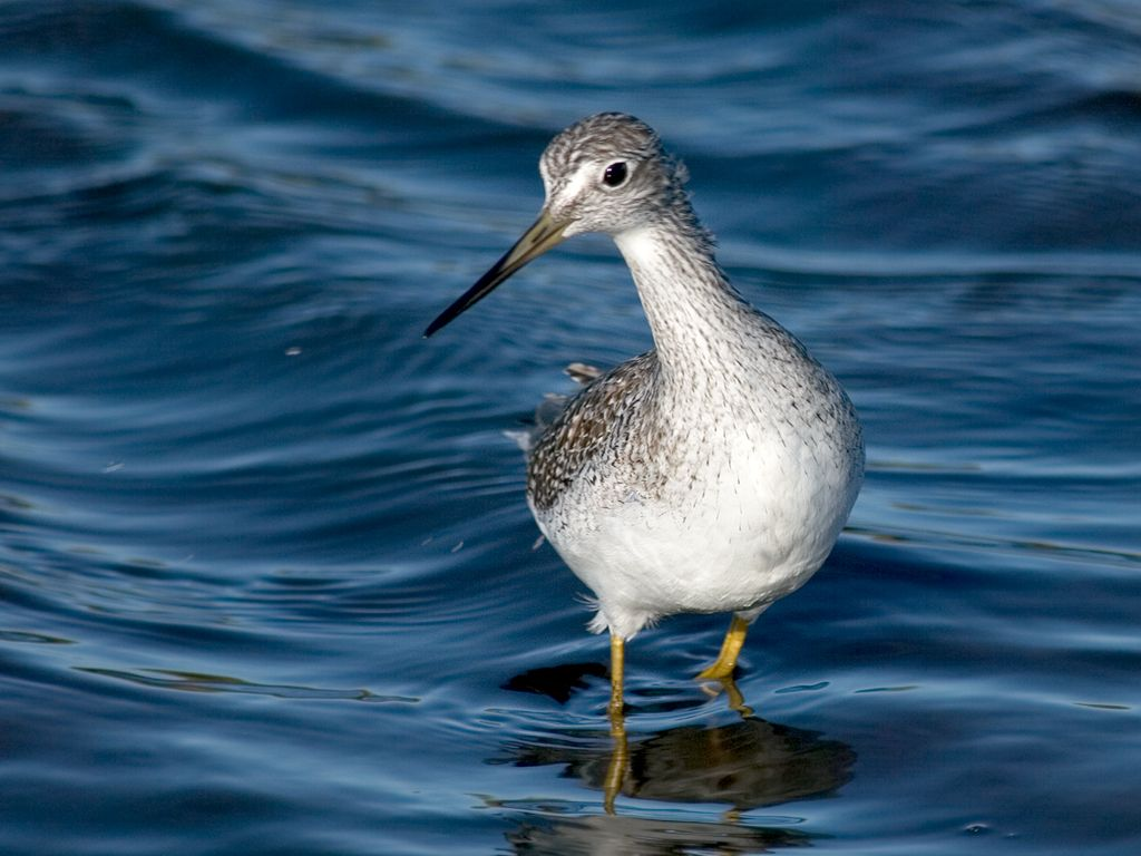 A Greater Yellowlegs. Dec. 28, 2002.  Click for next photo.