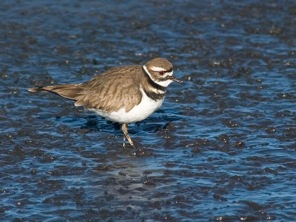 Killdeer, another type of plover. Dec. 28, 2002.  Click for next photo.