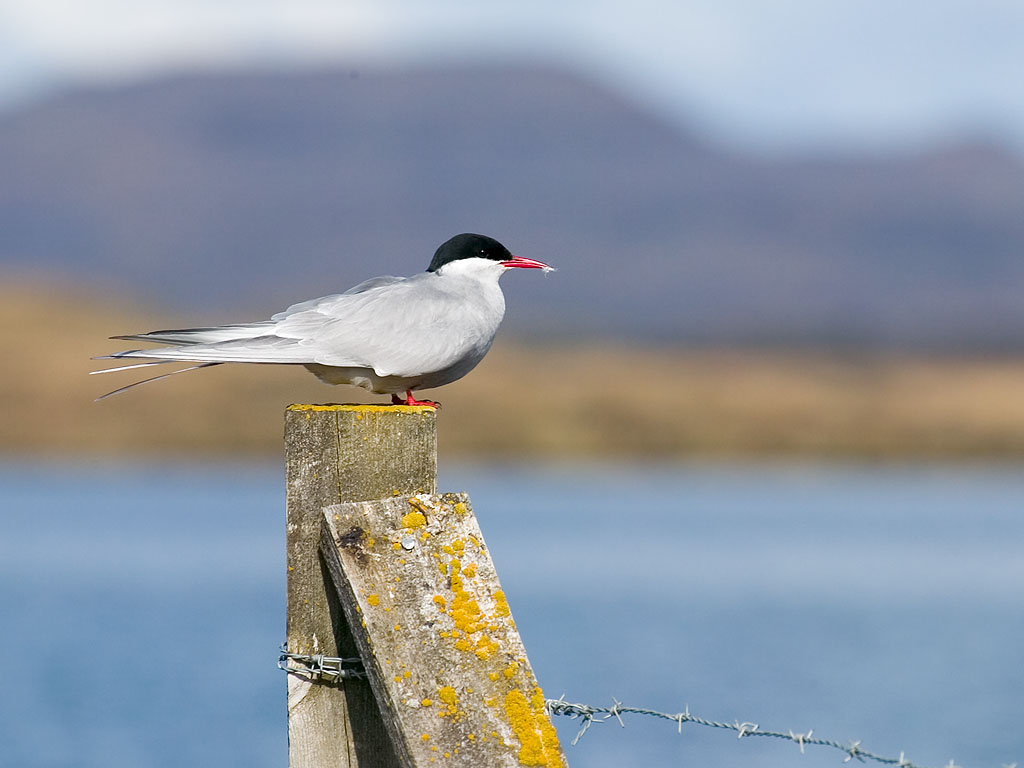 An Artic Tern on a fencepost near Myvatn, Iceland, 2003  Click for next photo.