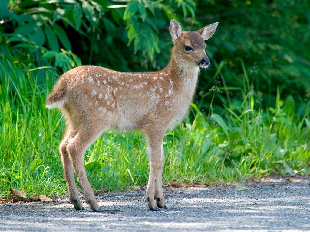 Black-tailed deer fawn near Petersburg.  Click for next photo.