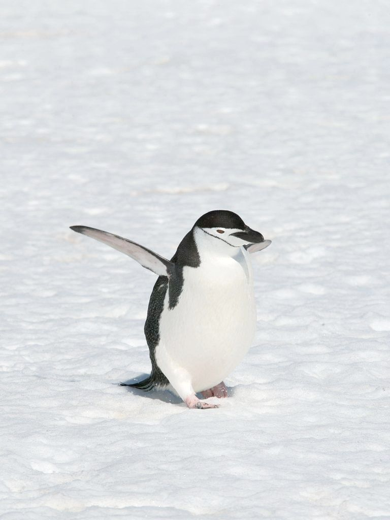 Chinstrap penguin, Robert Island, Dec. 1.  Click for next photo.