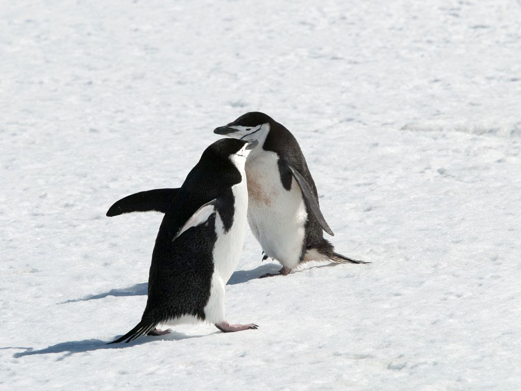 Chinstrap penguins, Robert Island, Dec. 1.  Click for next photo.
