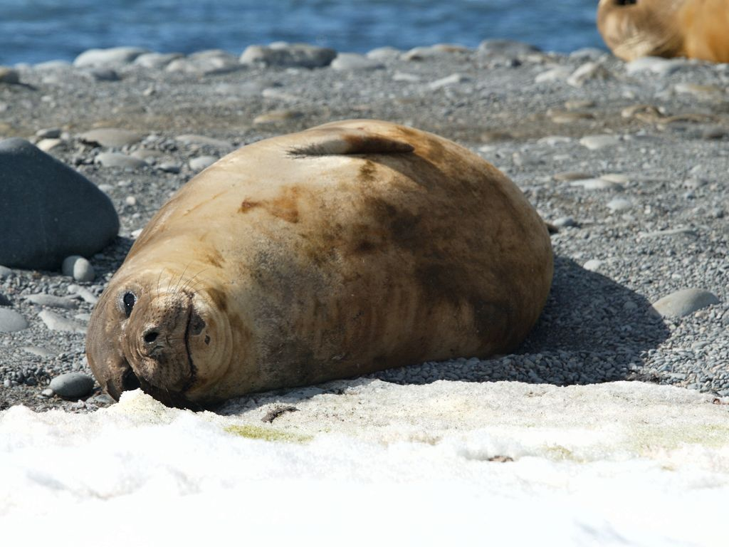 Elephant seal, Robert Island, Dec. 1.  Click for next photo.