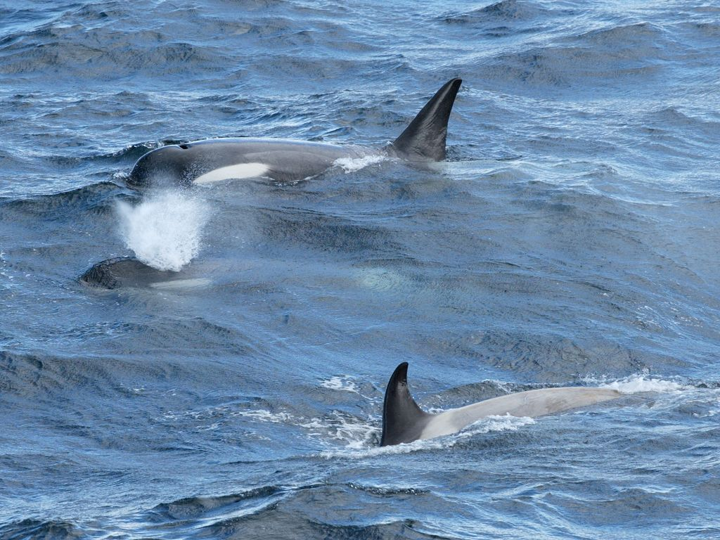 Orcas near the ship as we approach Lemaire Channel, Dec. 3.  Click for next photo.