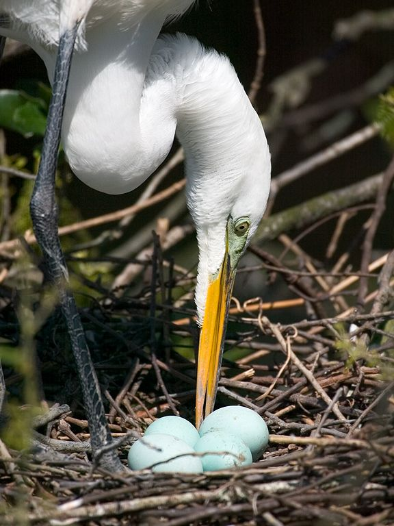 An egret takes a break from sitting on the eggs to turn the eggs and rearrange twigs. St. Augustine, March 2003  Click for next photo.