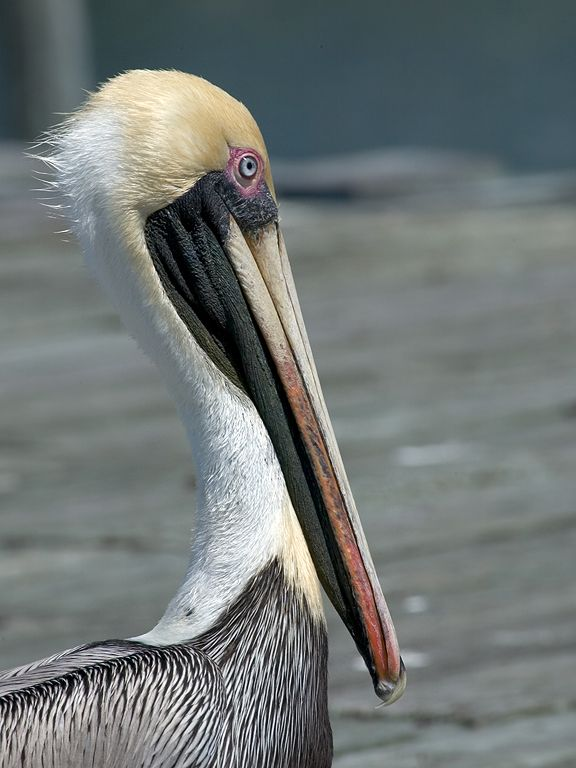 Lots of pelicans in Cedar Key.  Click for next photo.