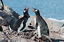 Gentoo penguins greet each other, Jougla Point, Dec.4, 2003.