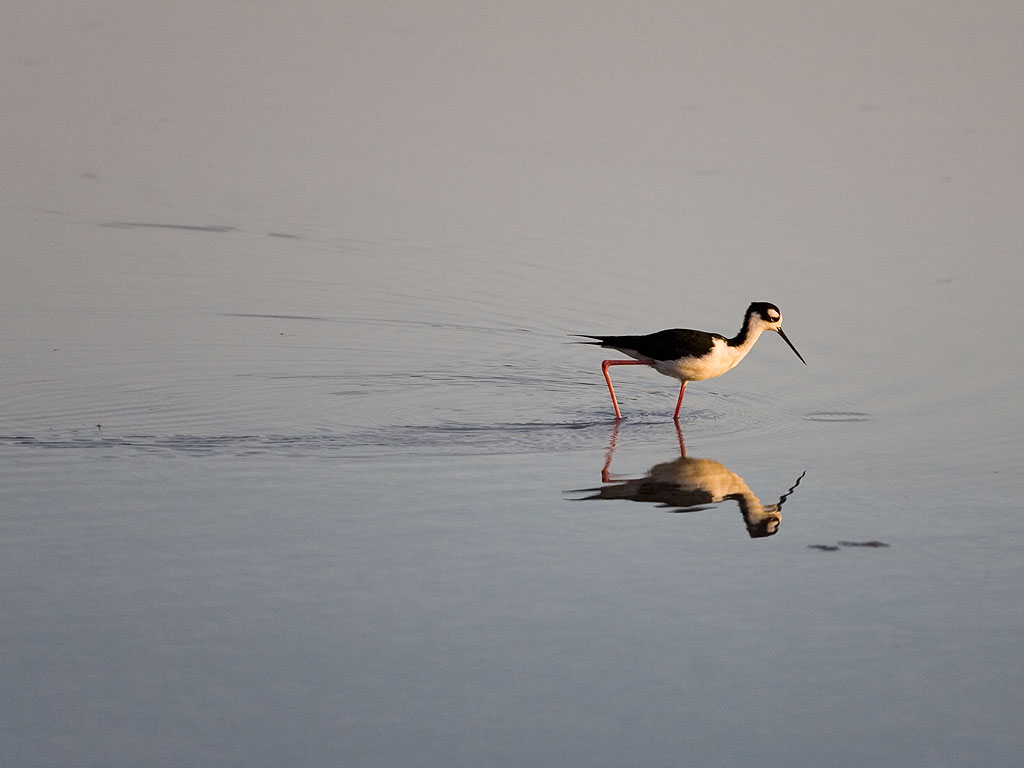 Black-necked Stilt at sunset, Floreana Island, Galapagos, Dec.13, 2004.  Click for next photo.