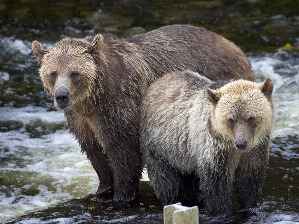 Grizzly bear mother and cub, Knight Inlet, British Columbia, September 2004.  Click for next photo.