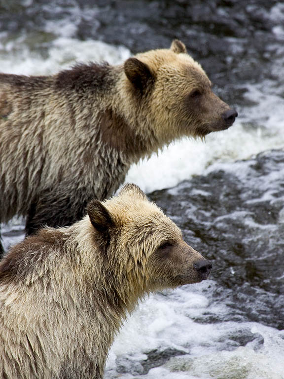 Grizzly bear yearling cubs, Knight Inlet, British Columbia, September 2004.  Click for next photo.