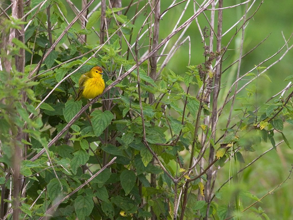 Yellow Warbler, Santa Cruz Island, Galapagos, Dec.15, 2004.  Click for next photo.