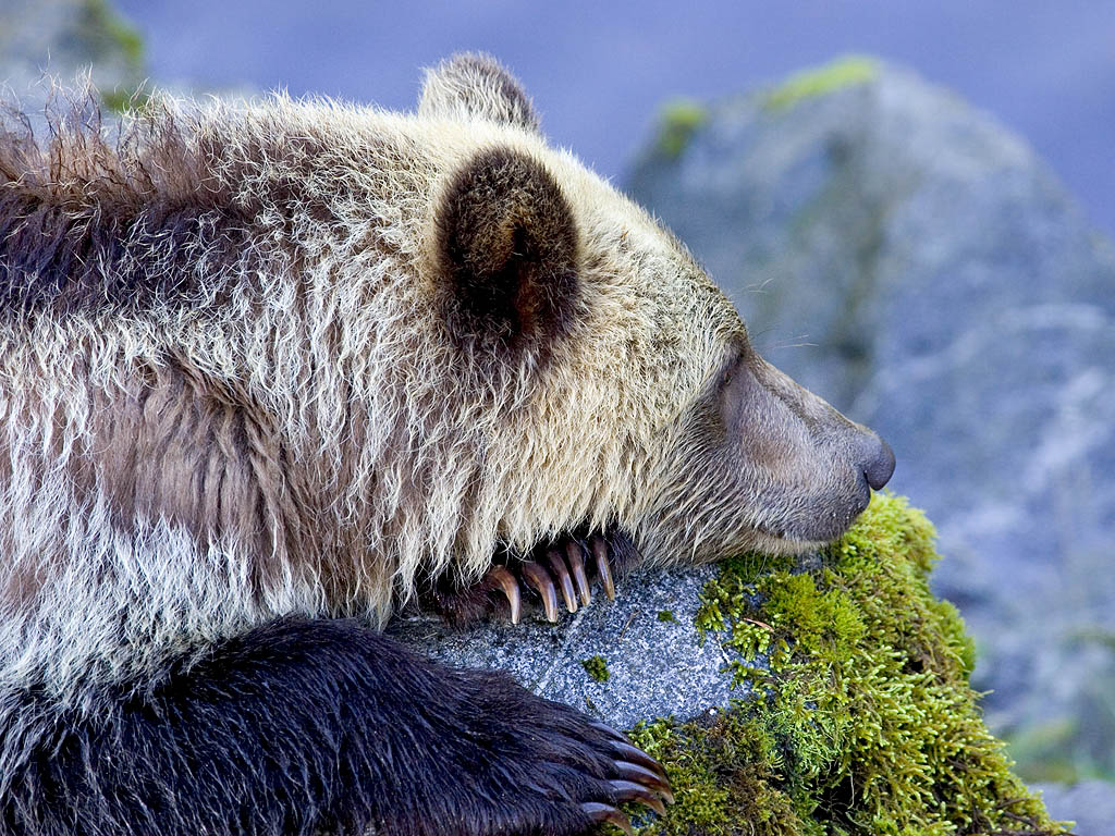 Grizzly bear yearling cub takes a brief rest, Knight Inlet, British Columbia, September 2004.  Click for next photo.