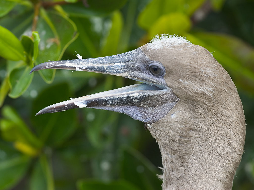 Red-footed booby, Genovesa Island, Galapagos, Dec.16, 2004.  Click for next photo.