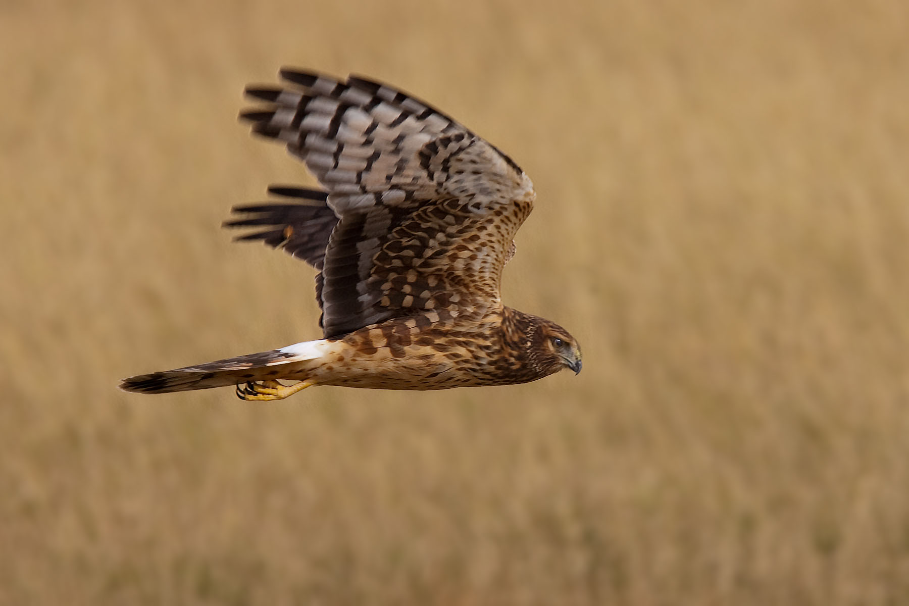 Northern Harrier, Bosque del Apache NWR, 2004.  Click for next photo.
