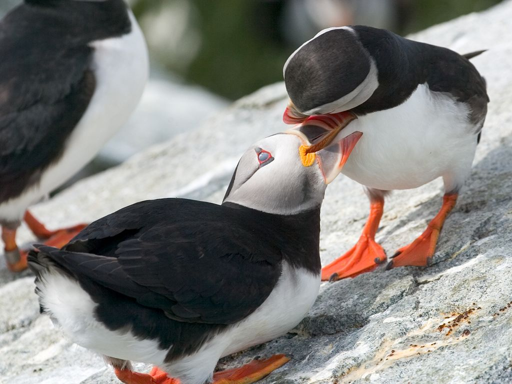 Puffins rub beaks as a form of greeting.  Click for next photo.