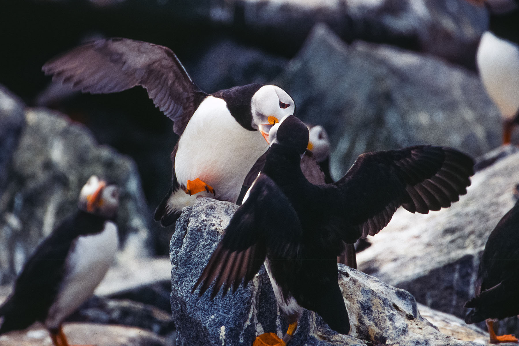 Puffins greet each other, Machias Seal Island 2004.  Scanned from slide.  Click for next photo.