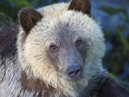 Grizzly bear yearling cub, Knight Inlet, British Columbia, September 2004.  Click for next photo.