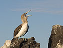 Blue-footed booby, Venecia islets, Galapagos, Dec.11, 2004.