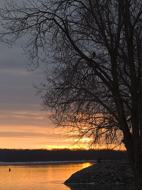 A lone Bald Eagle can be seen roosting at sunset along the Mississippi River, 2005.  Click for next photo.