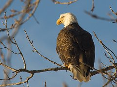 Missouri River Eagle