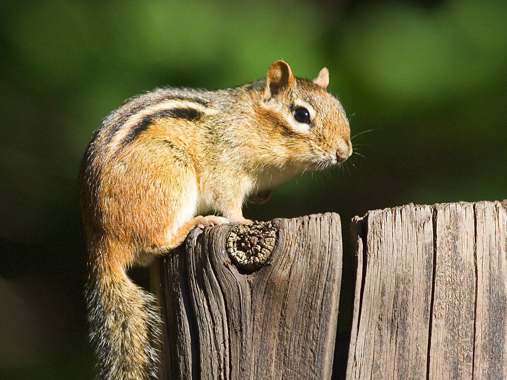 how to build a chipmunk habitat