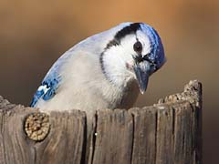 Cockeyed blue jay