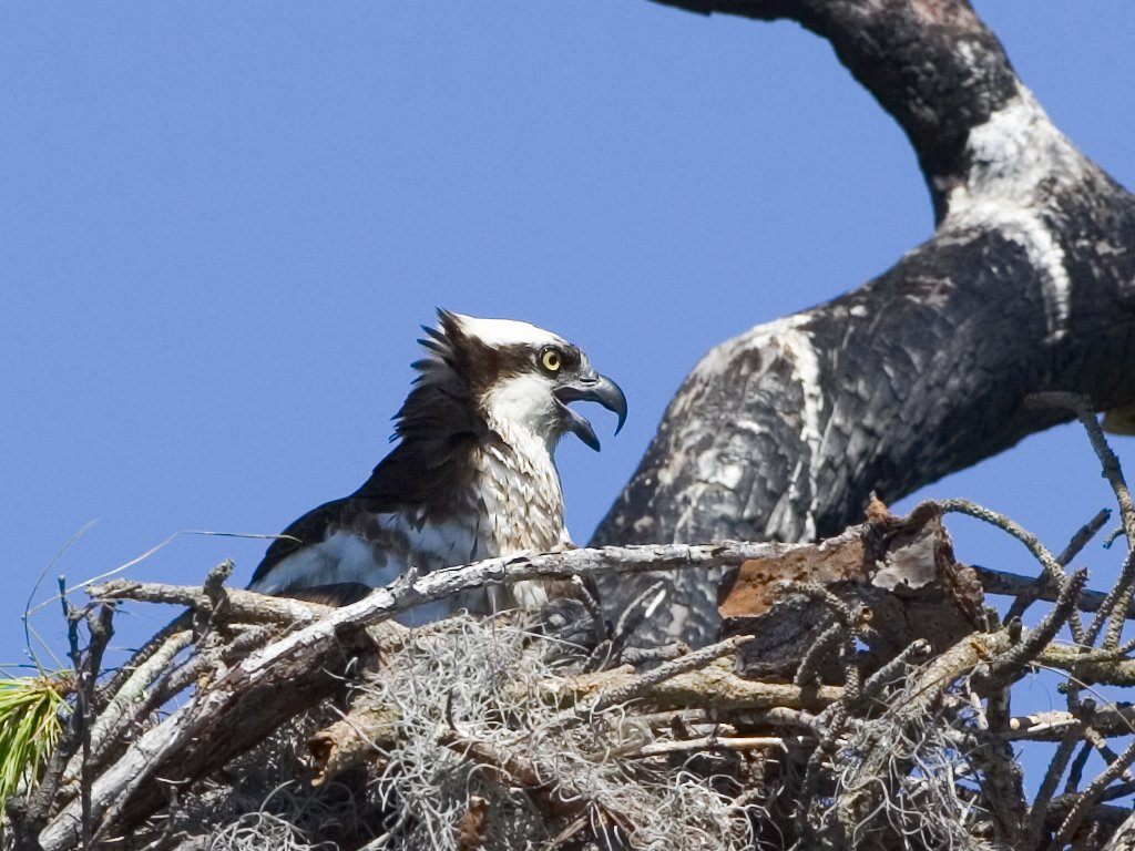 Osprey chick in nest, Honeymoon Island State Park, Florida, May 2007.  Click for next photo.
