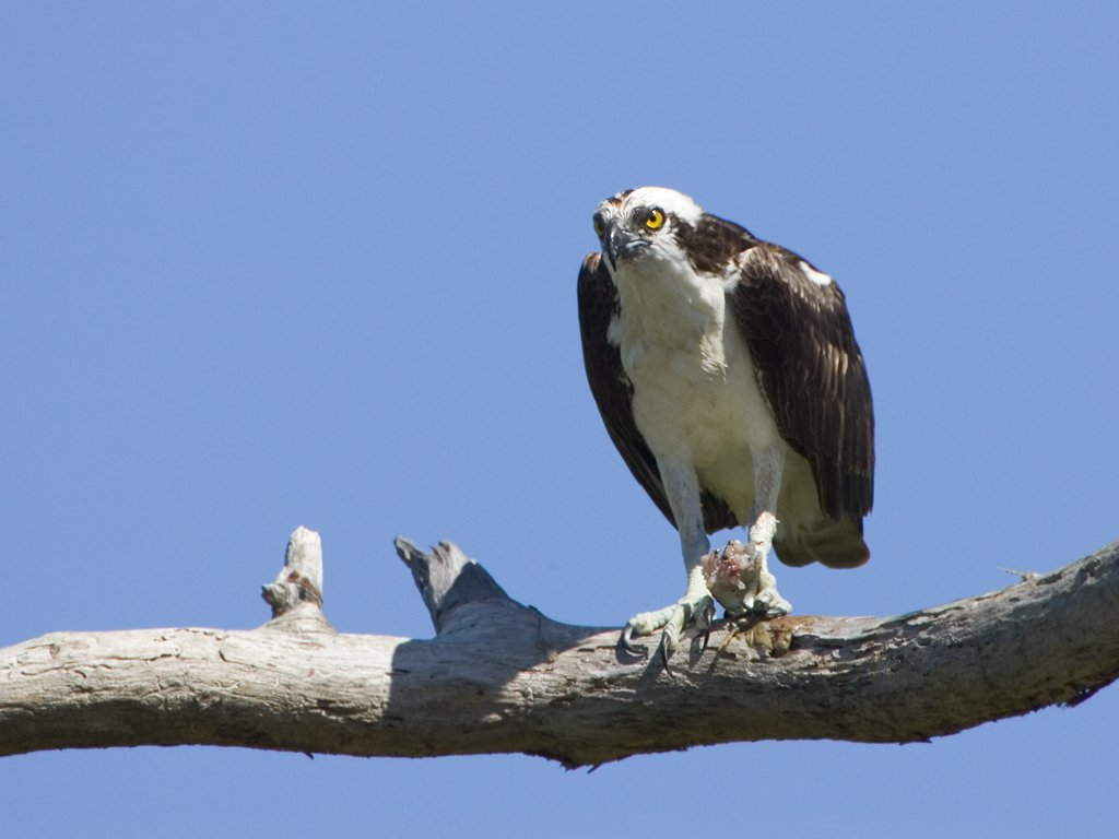 Osprey eating a fish, Honeymoon Island State Park, Florida, May 2007.  Click for next photo.
