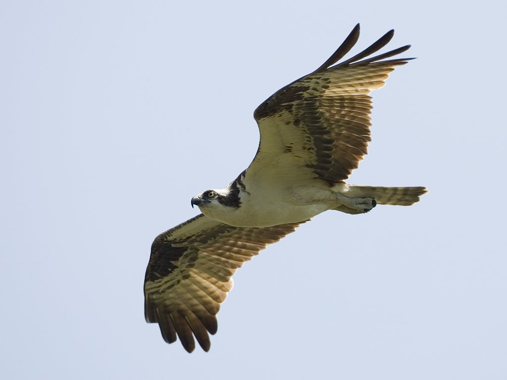 Osprey, Honeymoon Island State Park, Florida, May 2007.  Click for next photo.