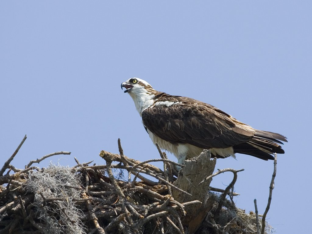 Osprey in nest, Honeymoon Island State Park, Florida, May 2007.  Click for next photo.