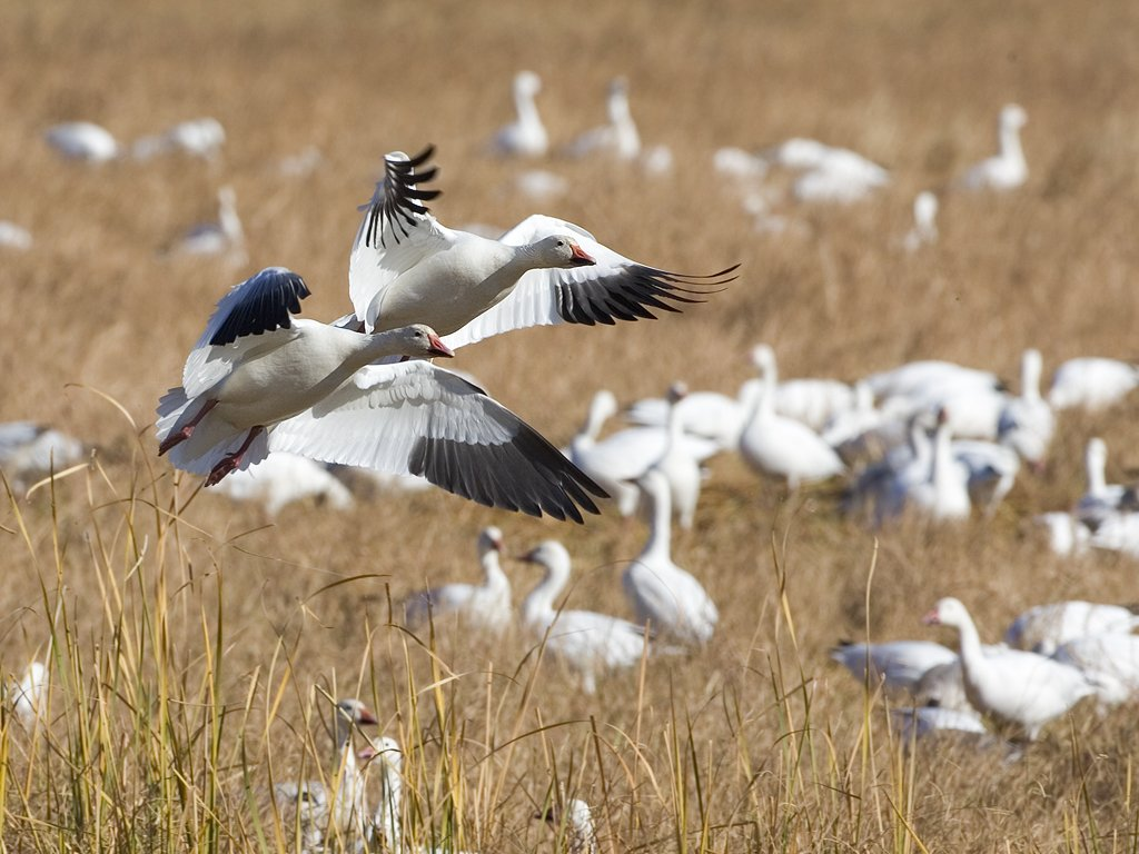 Snow Goose, Bosque del Apache NWR, 2007.  Click for next photo.