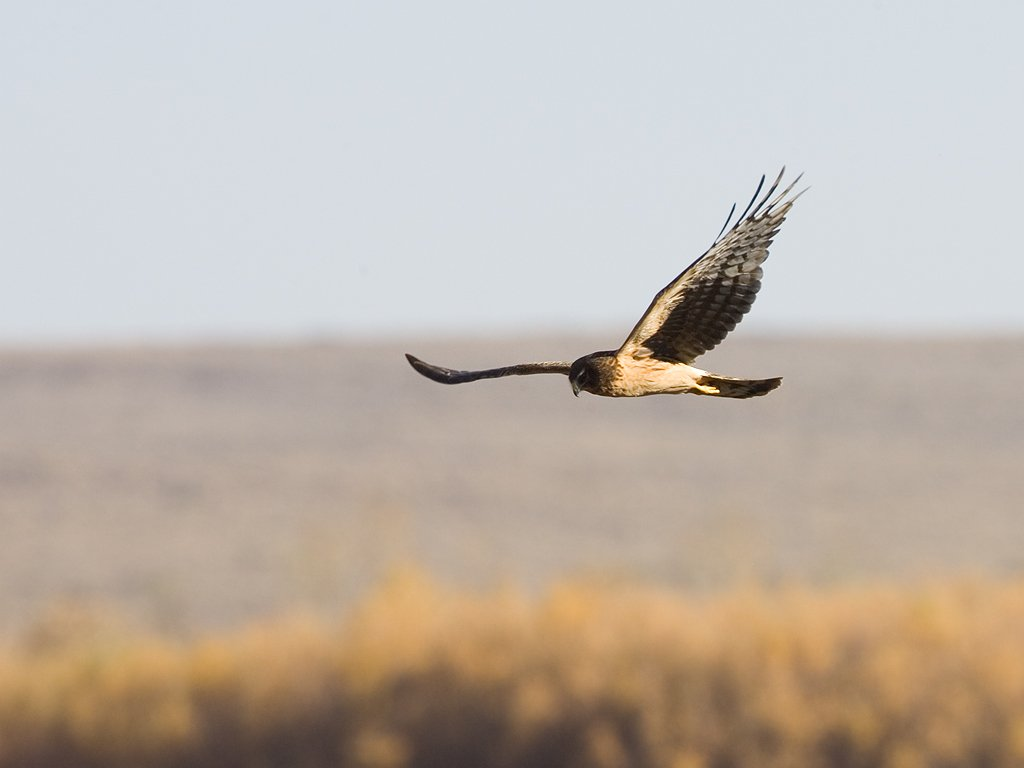 Harrier, Bosque del Apache NWR, 2007  Click for next photo.