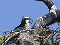 Osprey chick in nest, Honeymoon Island State Park, Florida, May 2007.