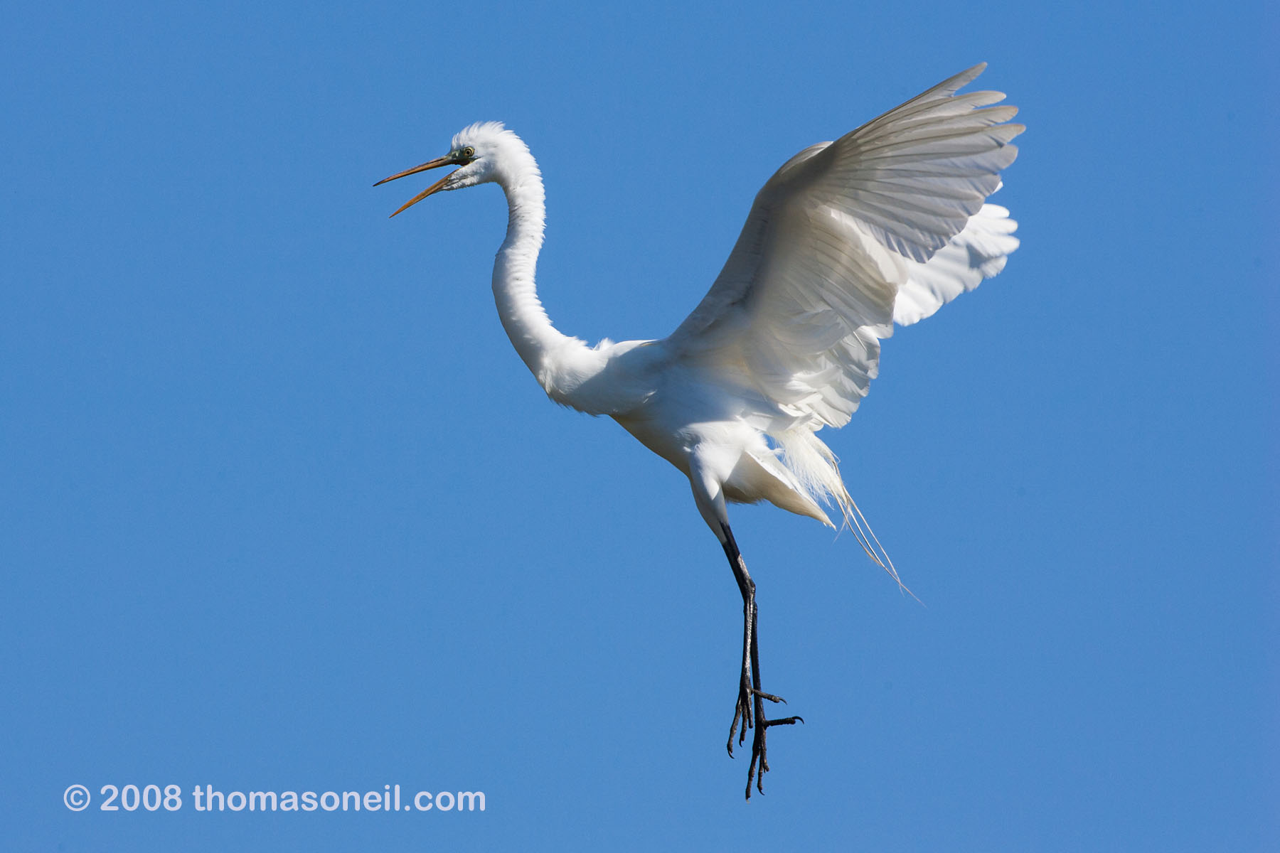 Egret coming in for a landing, St. Augustine, Florida, March 2008.  Click for next photo.