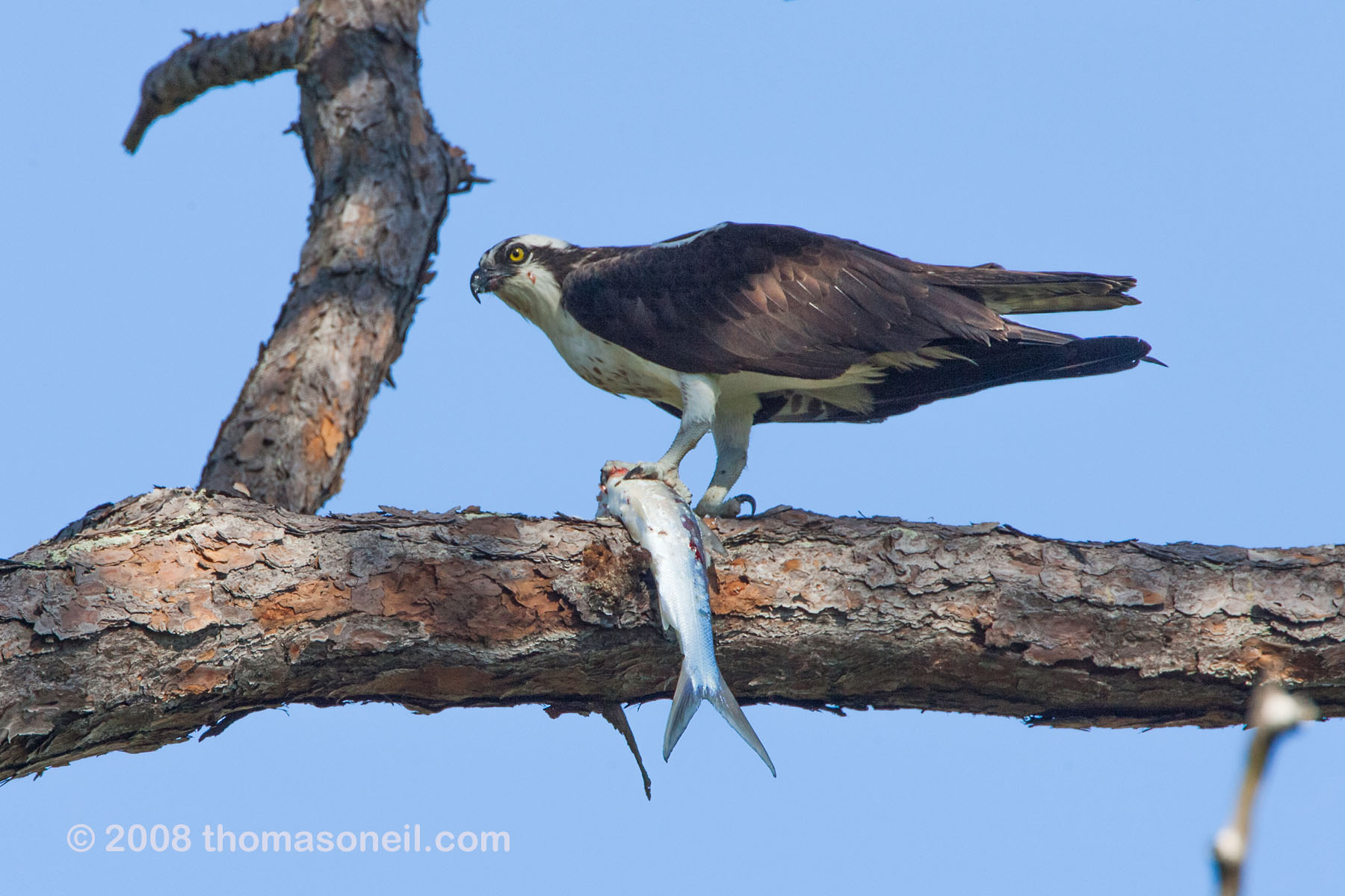 Osprey with a big fish, Honeymoon Island State Park, Florida, March 2008.  Click for next photo.