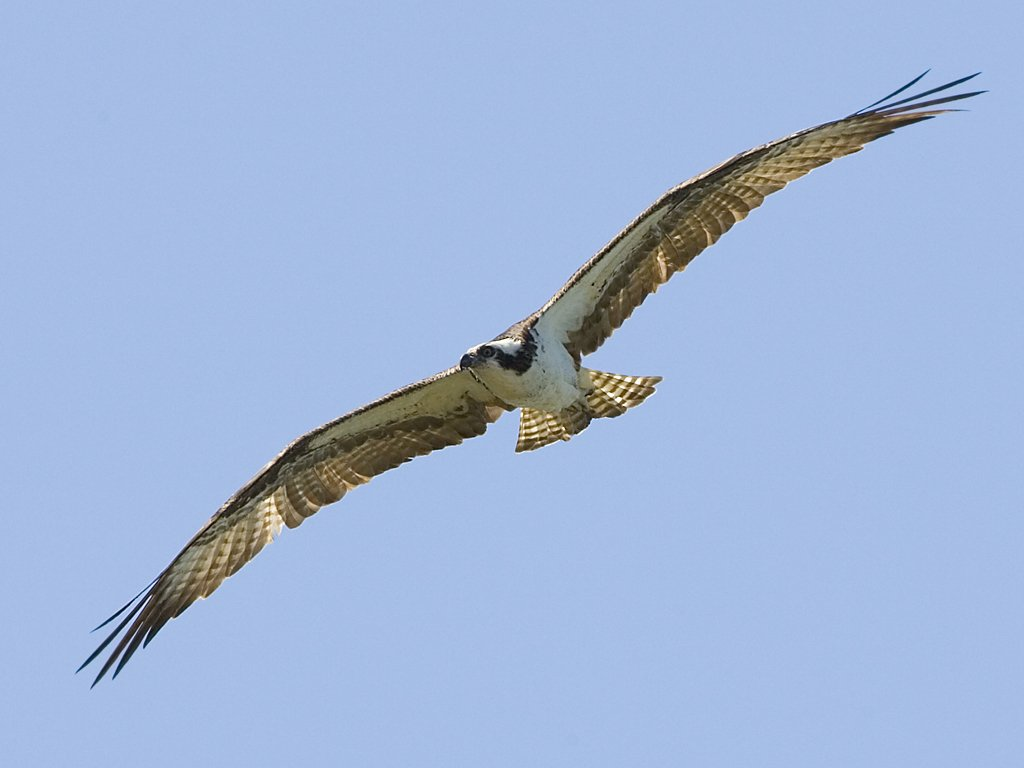 Osprey, Honeymoon Island State Park, Florida, March 2008.  Click for next photo.