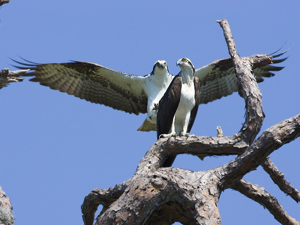 Here comes another osprey (second of seven), Honeymoon Island State Park, Florida, March 2008.  Click for next photo.