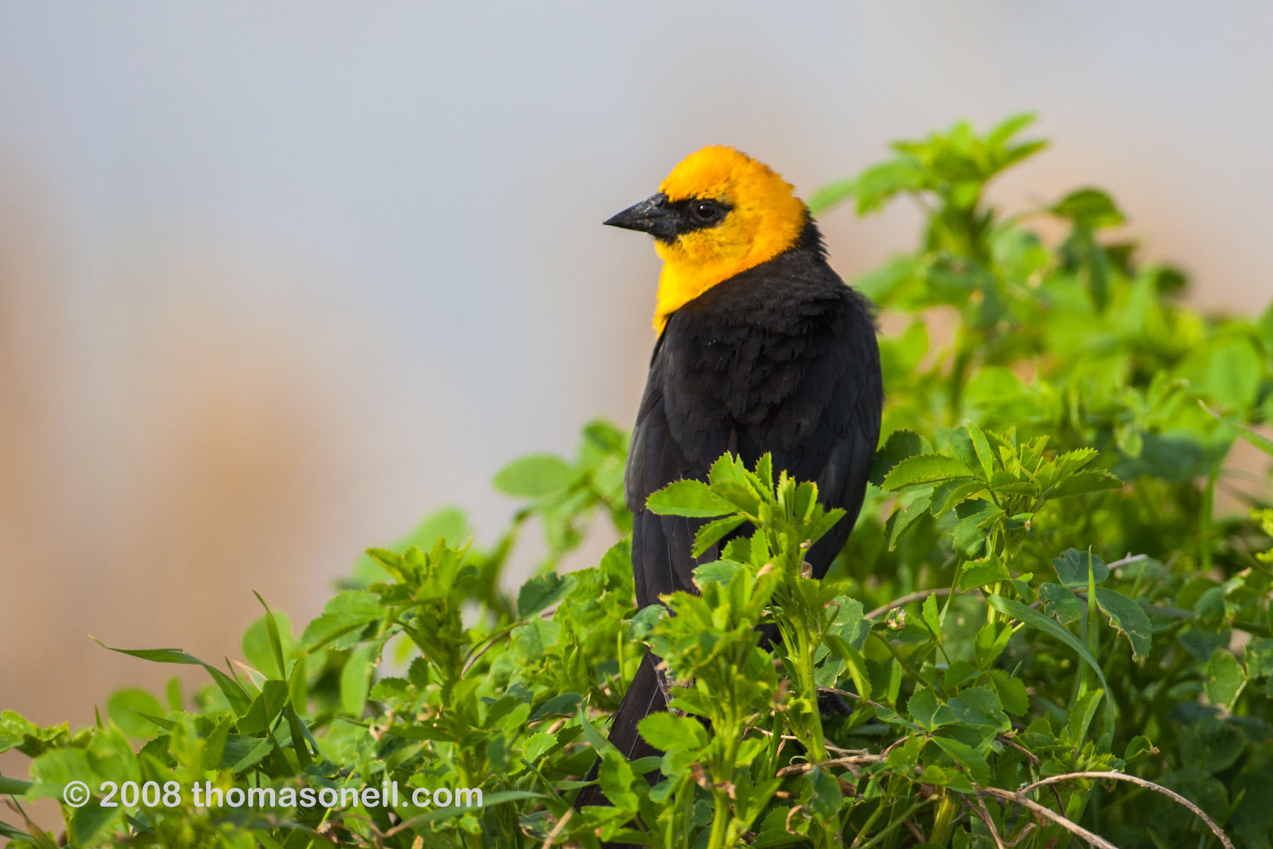 Yellow-headed Blackbird, Quivira NWR, Kansas, April 2008.  Click for next photo.