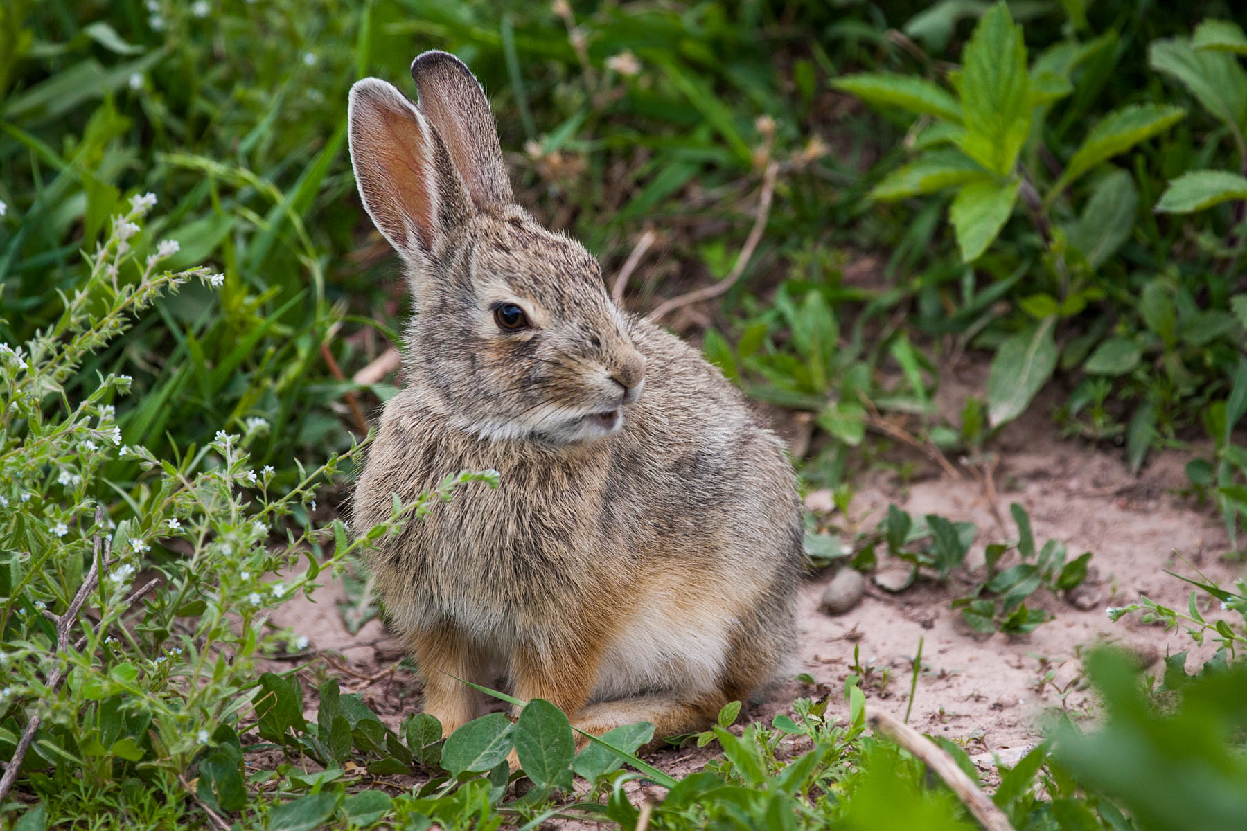 Bunny rabbit, Wind Cave National Park, June 2008.  Click for next photo.
