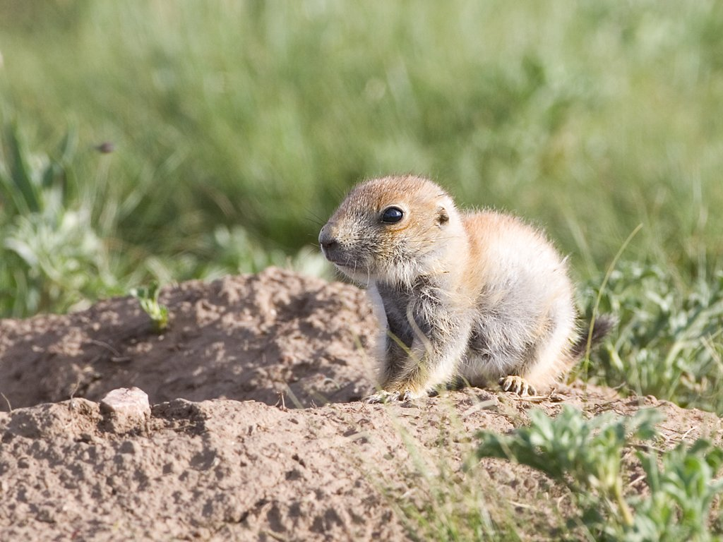 Baby prairie dog, Wind Cave National Park, South Dakota, June 2008.  Click for next photo.