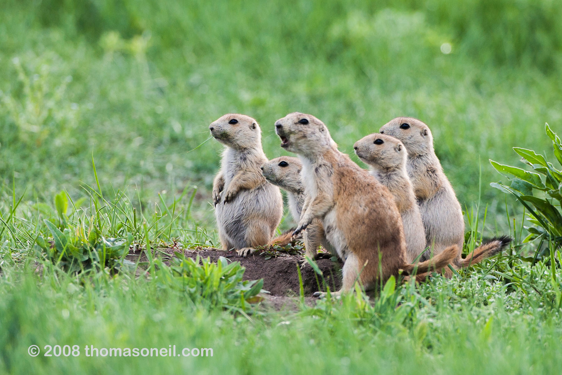 Prairie Dog Manor, Wind Cave National Park, June 2008.  Compare these skinny spring pdogs to the fat one in the next image.  Click for next photo.
