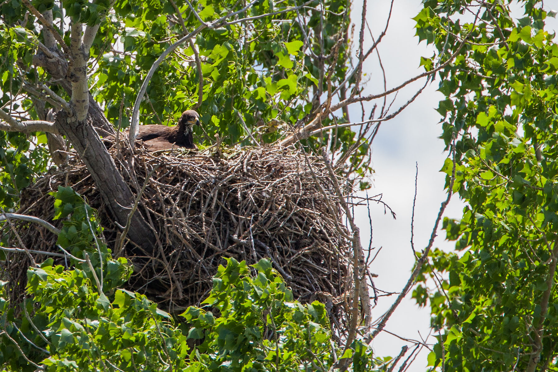 Golden eagle in nest near Quinn, June 2008.  Click for next photo.