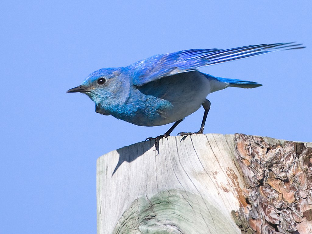 Mountain Bluebird, Custer State Park, South Dakota, May 2009.  Click for next photo.