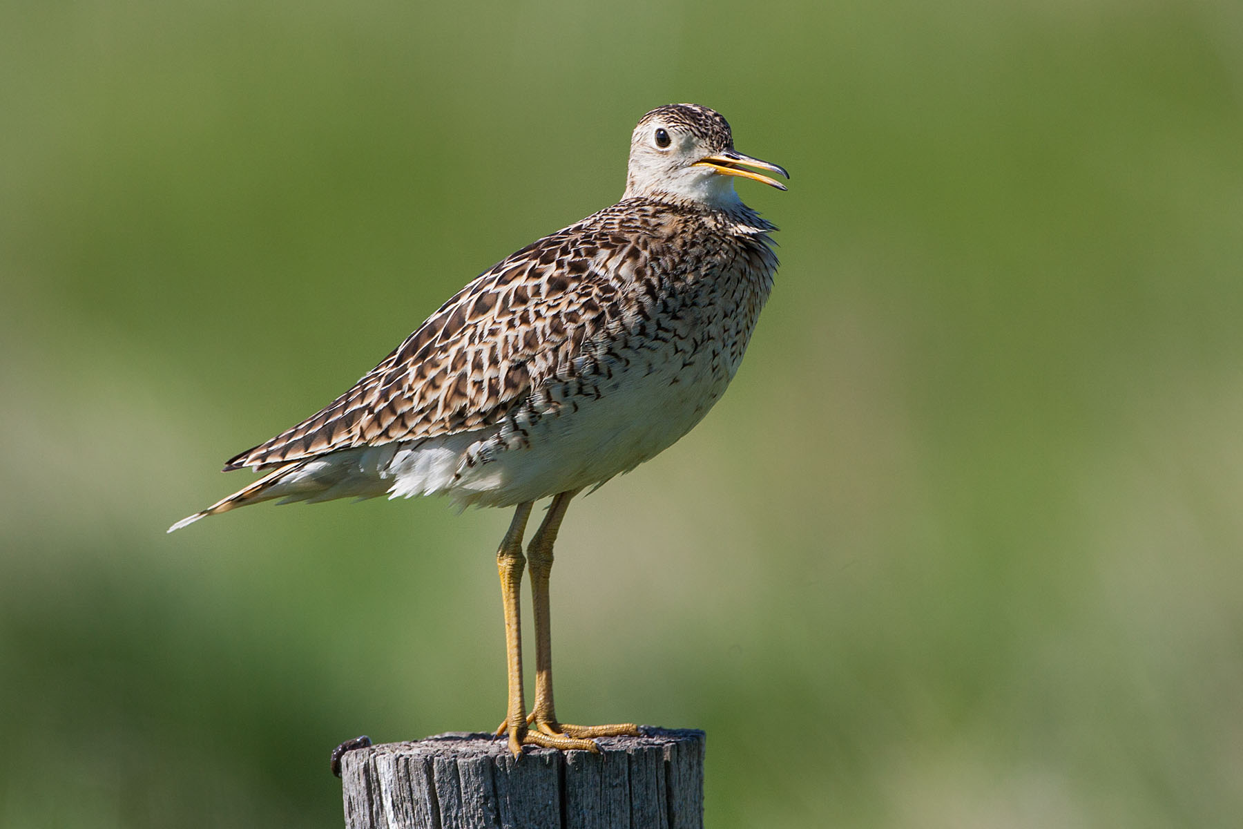 Upland Sandpiper, somewhere south of Pierre, May 2009.  Click for next photo.