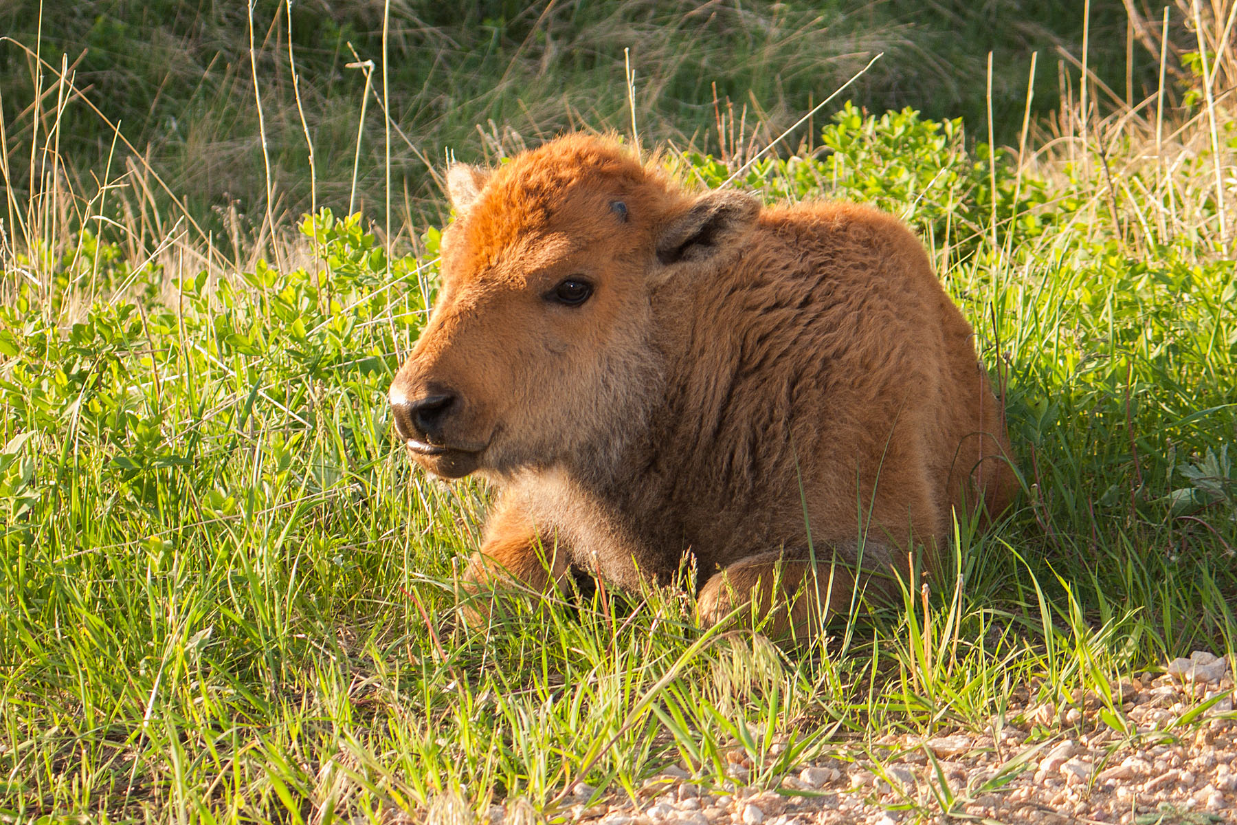 Bison calf, Custer State Park, May 2009.  Click for next photo.