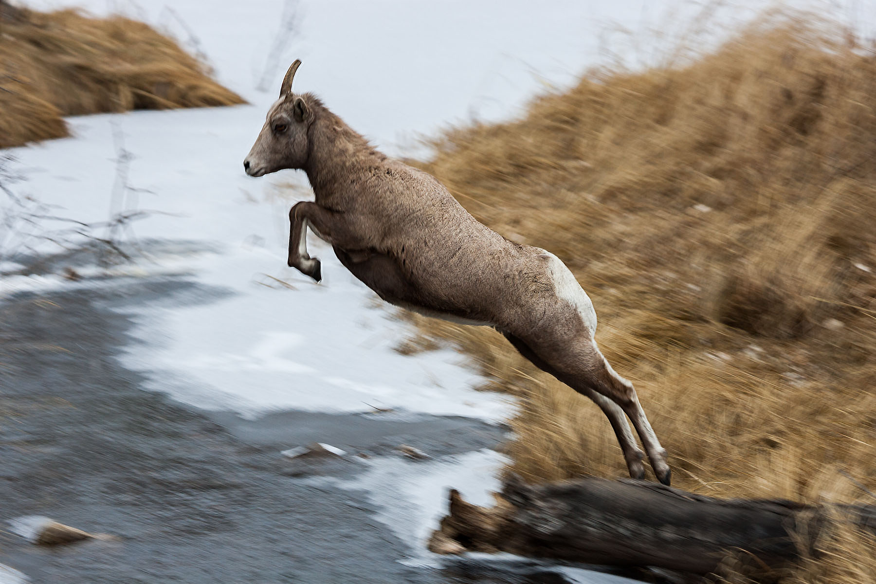 Rocky Mountain Bighorn ewe leaping a creek, Custer State Park, December 2009.  Click for next photo.
